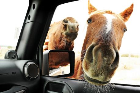 10 curiosità sui cavalli