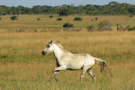 lavradeiro cavallo selvaggio