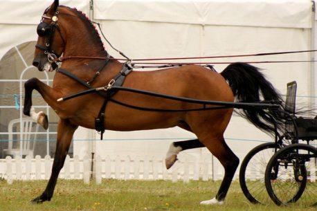 Hackney il cavallo carrozziere