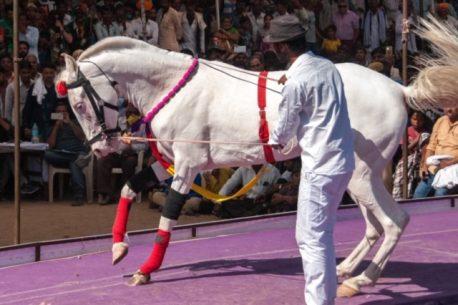 Il cavallo Marwari