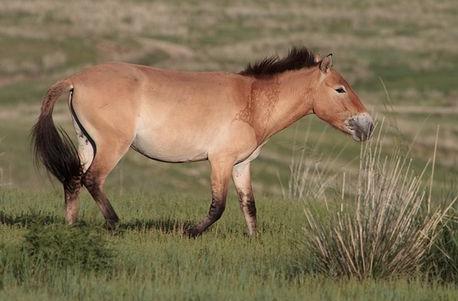 Cavalli selvaggi di Cernobyl
