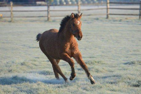 Bashkir, il cavallo riccio